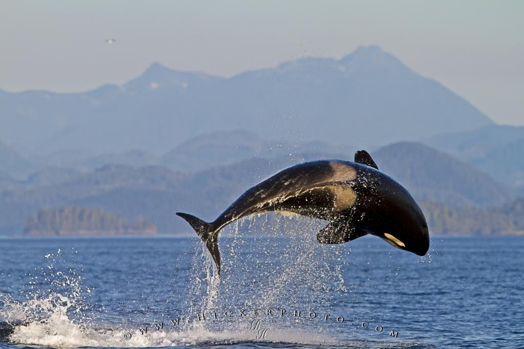 Spectacular breaching orca