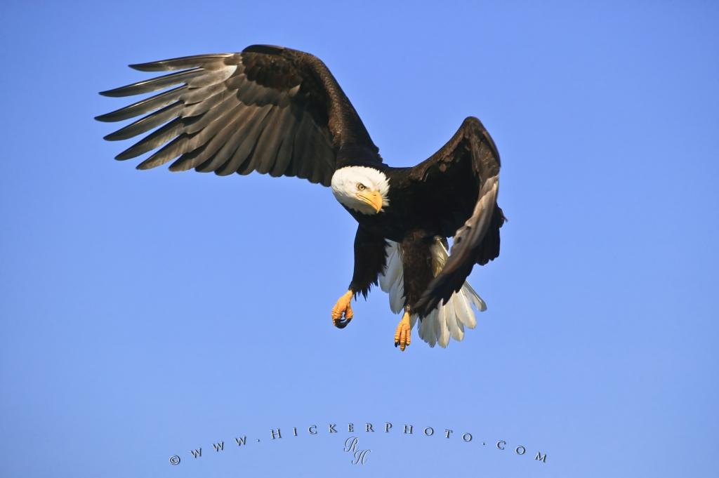Free Wallpaper: American Eagle Hunting