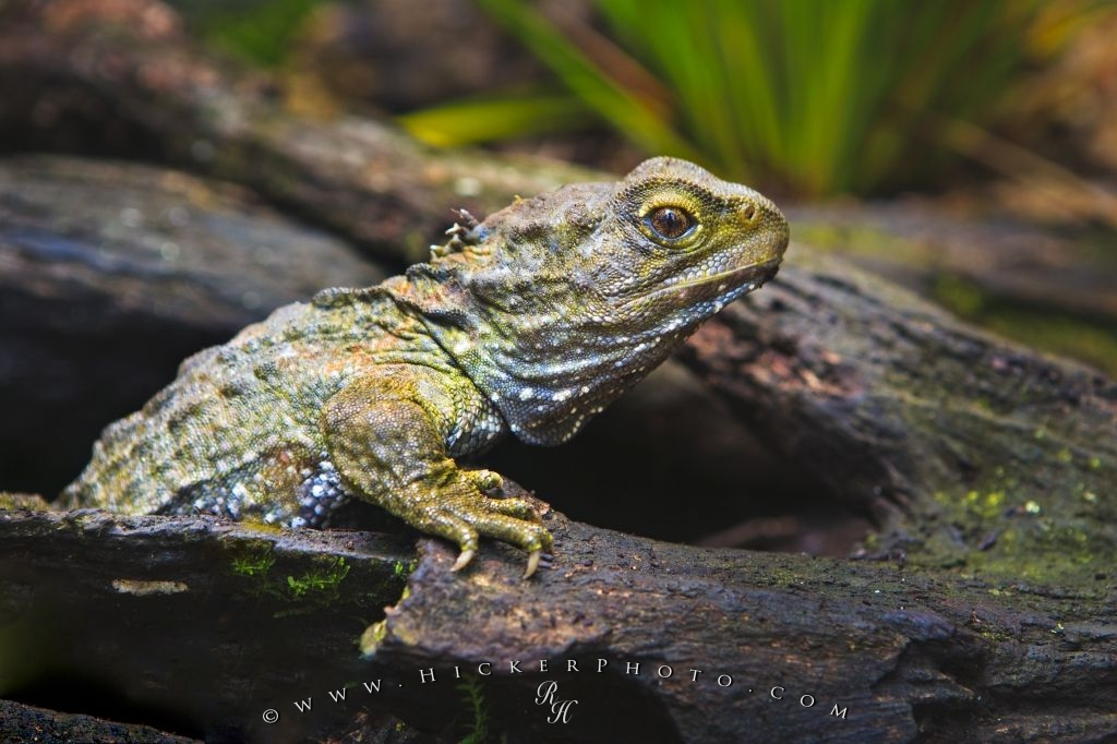 Ancient Tuatara Reptile