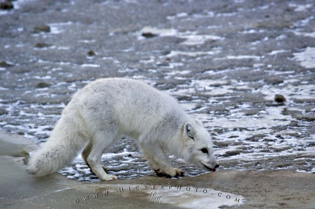 Arctic Fox Animal Picture