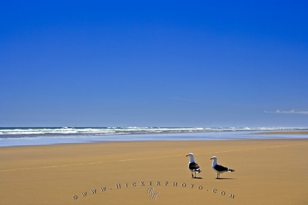 Ripiro Beach Picture Seagulls Tasman Sea New Zealand
