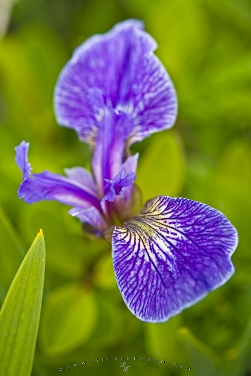 Beachhead Iris Flower Picture