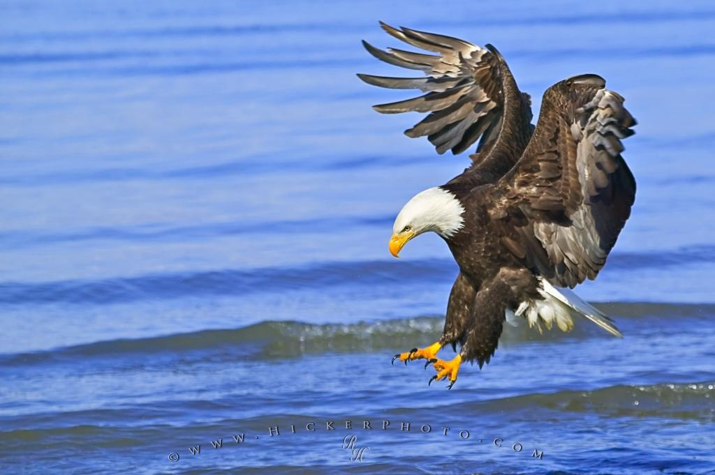 Birds Of Prey Fishing Bald Eagle