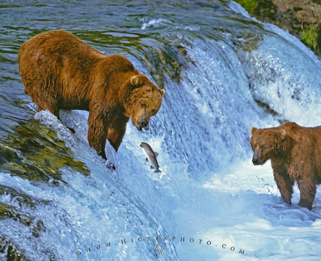 Free Wallpaper: Brown Bears Fishing Brooks Falls Waterfall Alaska