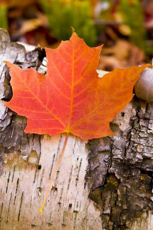 Red Maple Leaf Canadian Symbol Photo Information