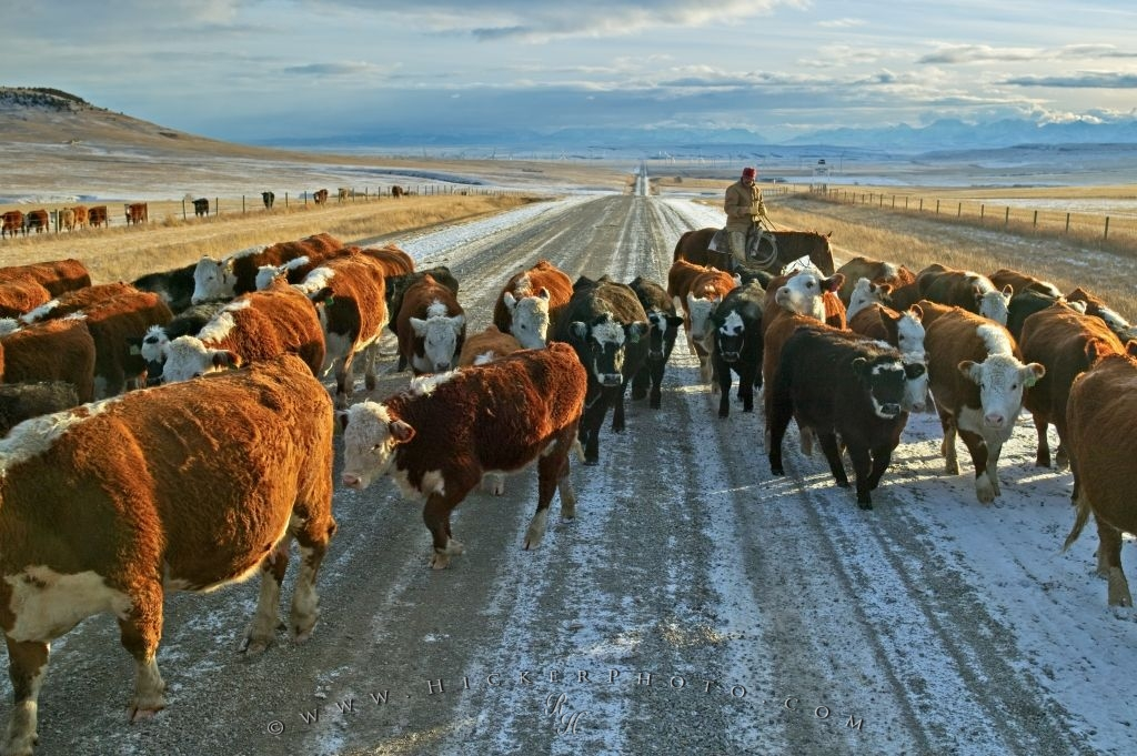 Free Wallpaper Background Cattle Drives