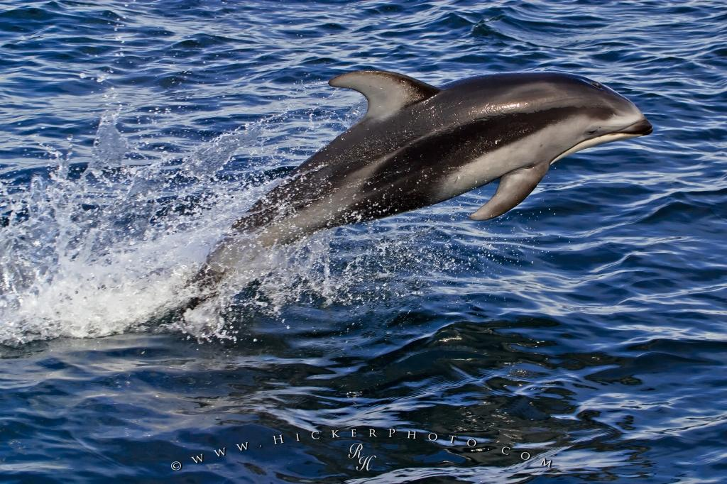 High Speed Jumping White Sided Dolphin
