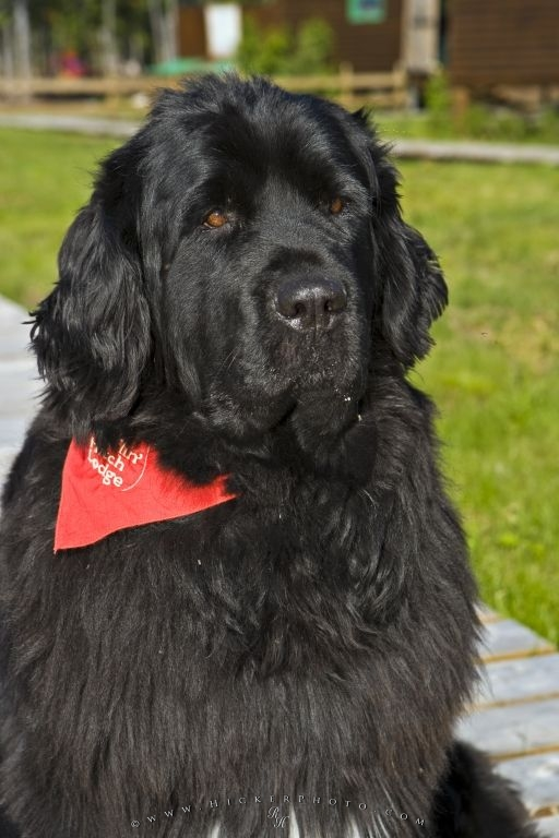 Picture Of A Cute Newfoundland Dog