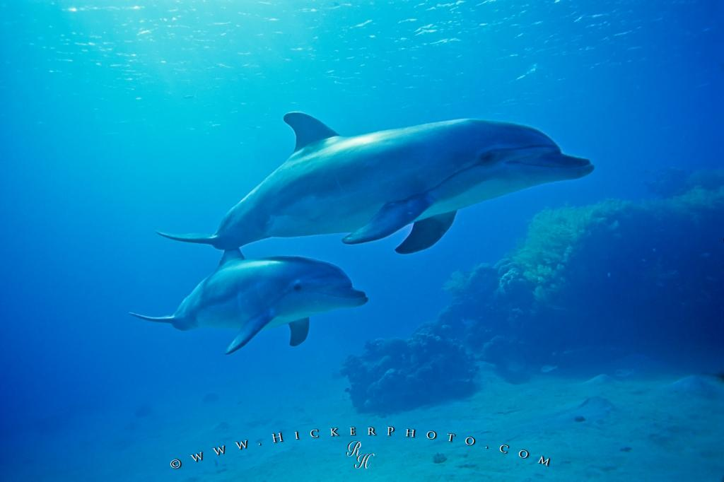 Underwater Bottlenose Dolphin Baby Mother Photo