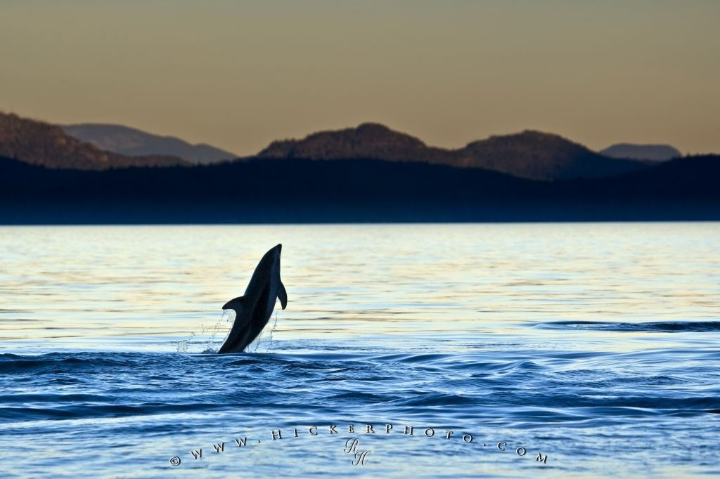 Jumping Dolphin Sunset Scenery Pic