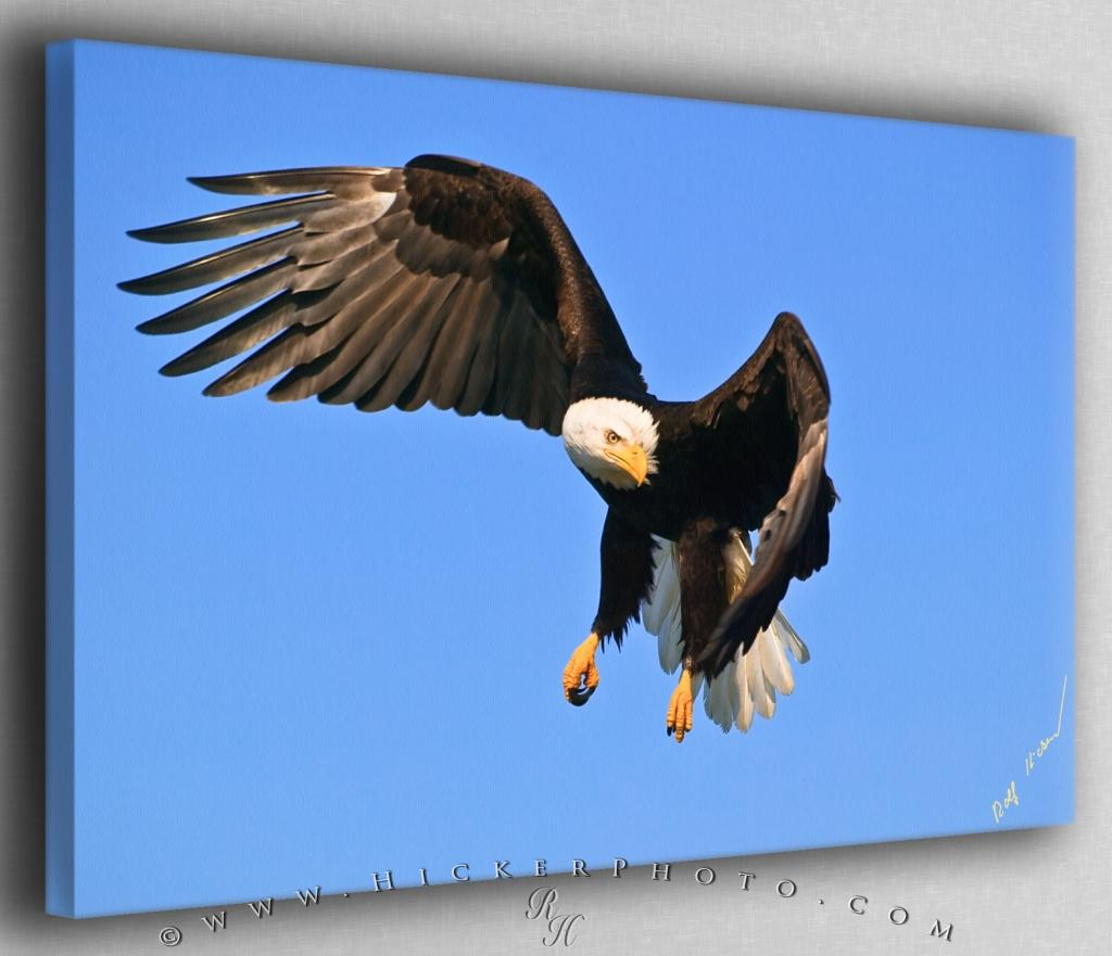 Eagle Turning in Flight Canvas Fine Art Photo