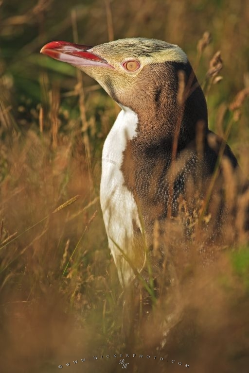 Endangered Yellow Eyed Penguin Reserve Otago New Zealand