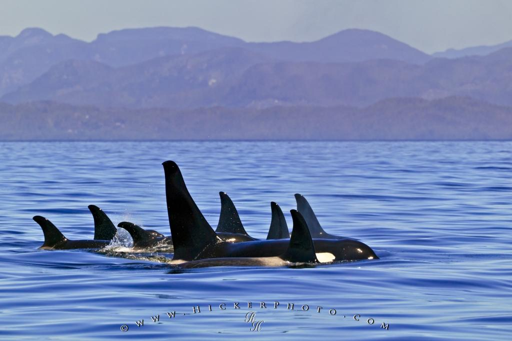 Family Pod Orca Whales Scenery Coast Mountains