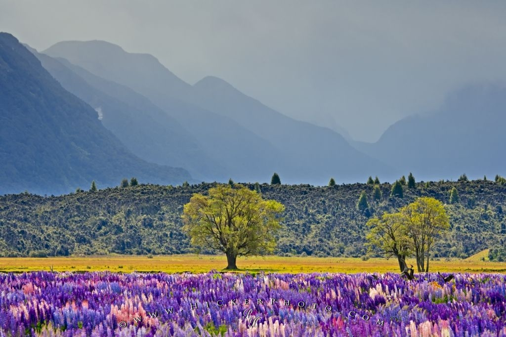 Field Of Russell Lupins Landscape New Zealand