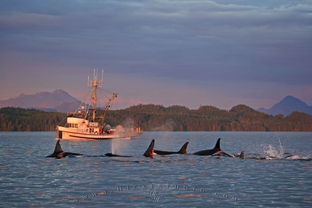 Fishing Boat Orca Pod Vancouver Island