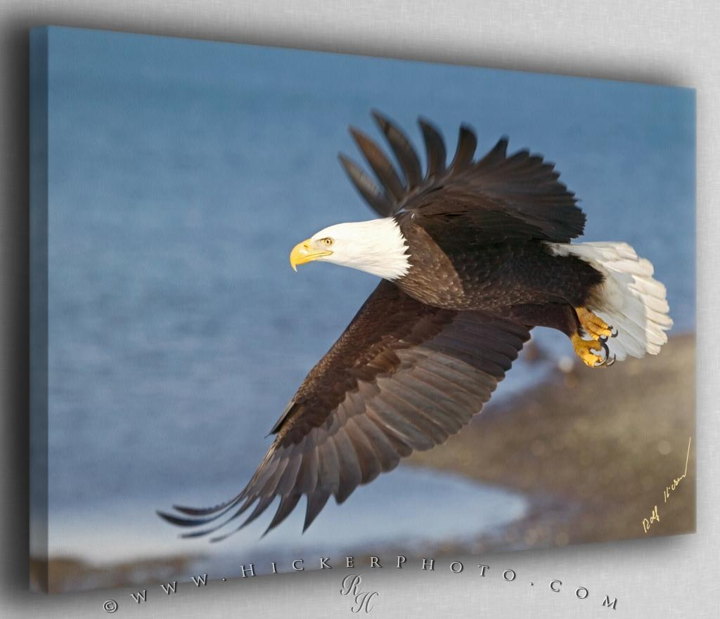 Eagle in Flight Canvas Fine Art Photo