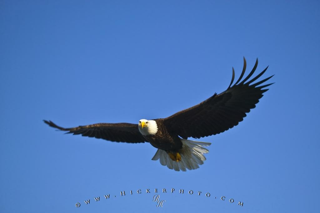 Flying eagle blue sky photo information photo flying eagle blue sky altavistaventures Image collections