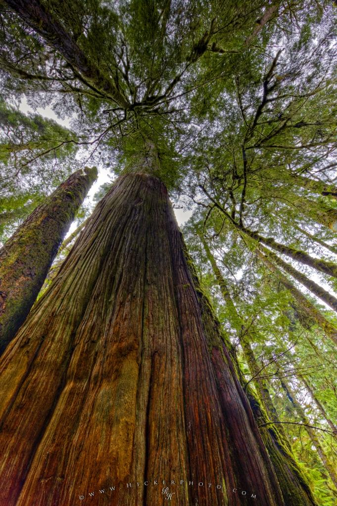 Western red cedar forest canopy picture photo information