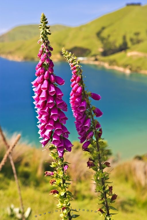 Foxglove Flower Pictures