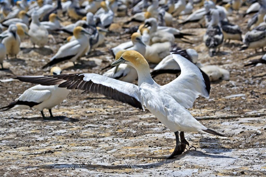 Gannet Wings Cape Kidnappers NZ