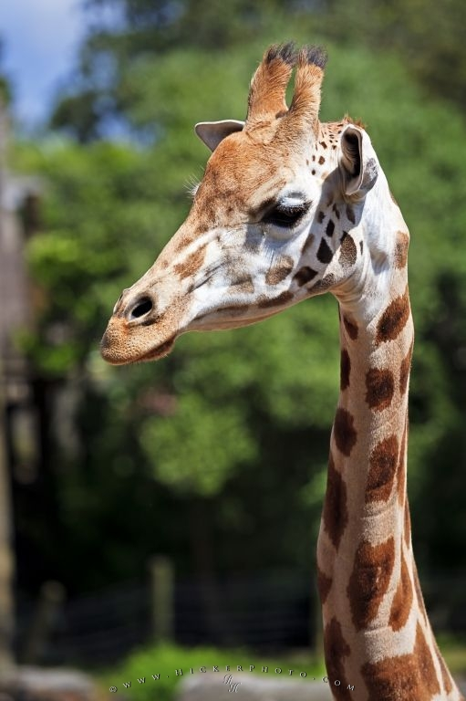 Giraffe Animal Picture