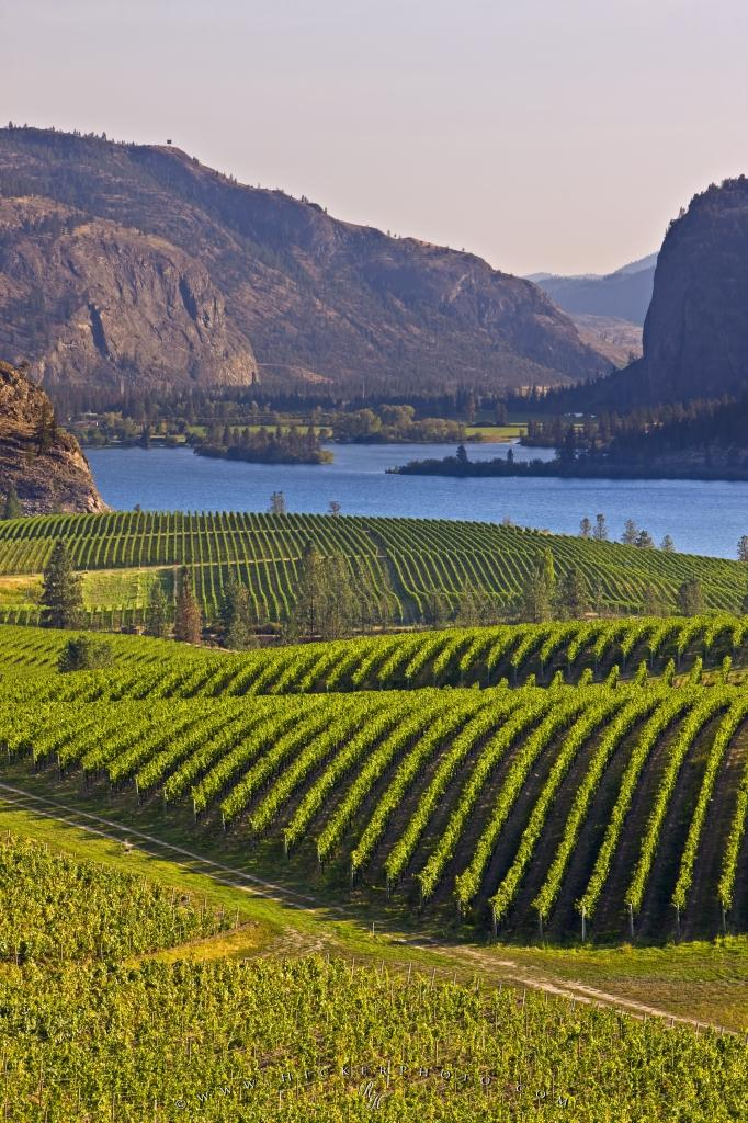 Grapevines Vaseux Lake British Columbia Canada
