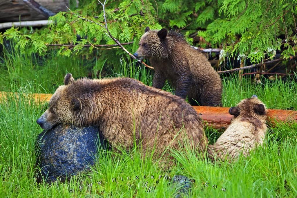Grizzly Bear Family Hicker Photo Tour