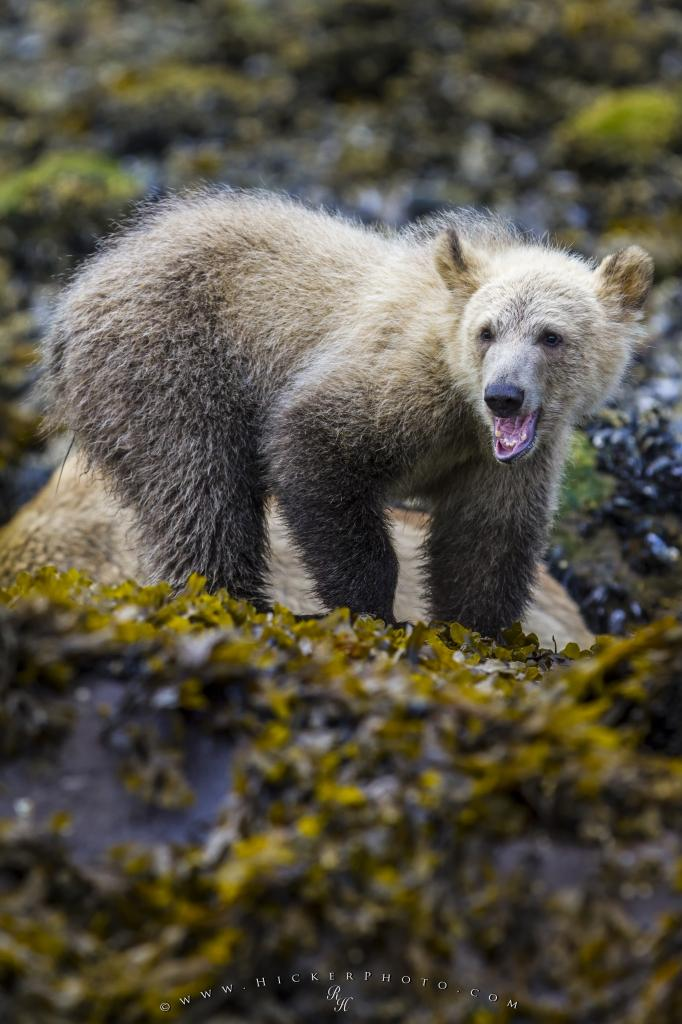 Grizzly bear cub feasting on beach