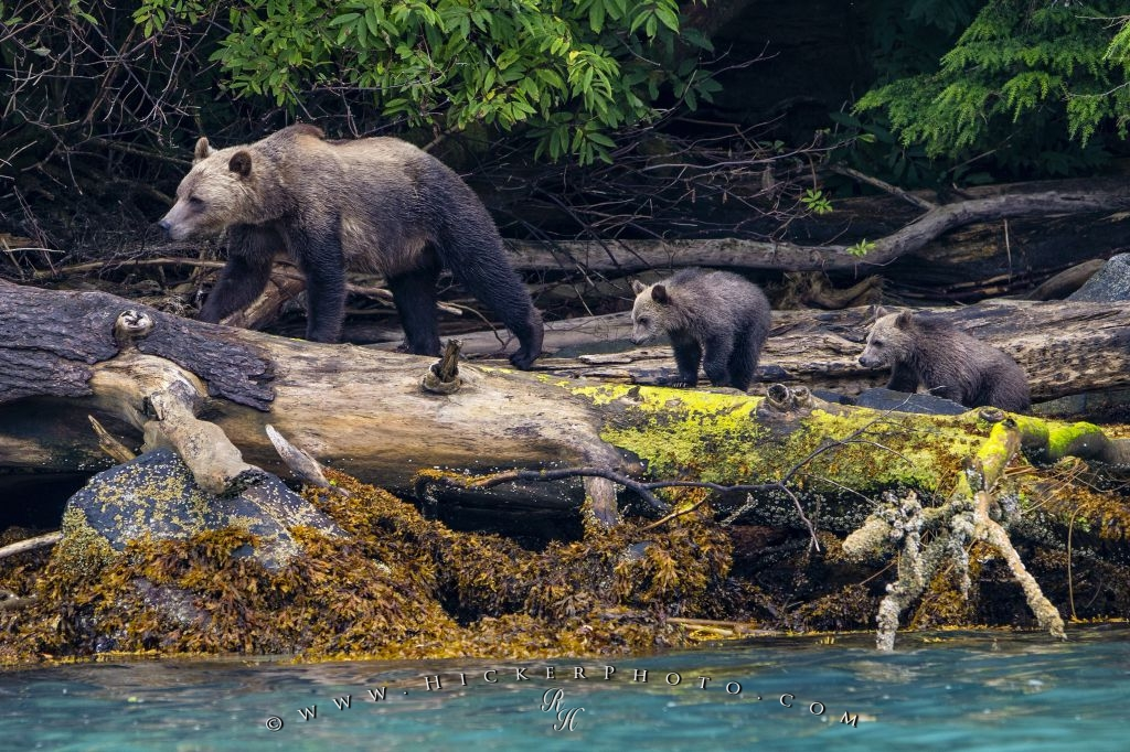 Grizzly bear sow cubs