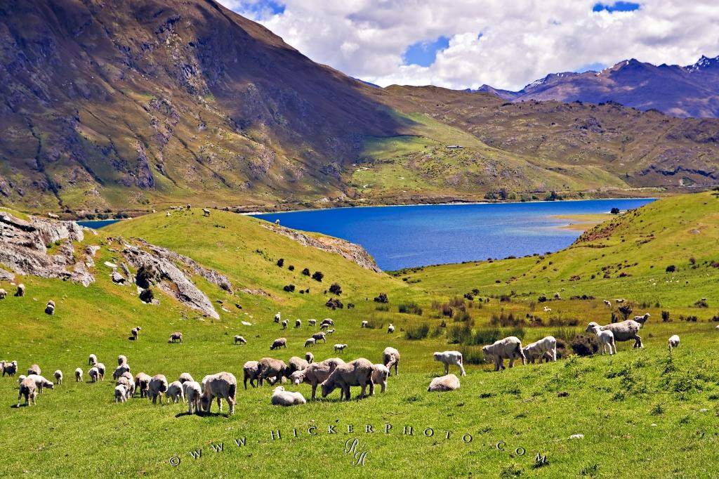 Lake Hawea Sheep New Zealand