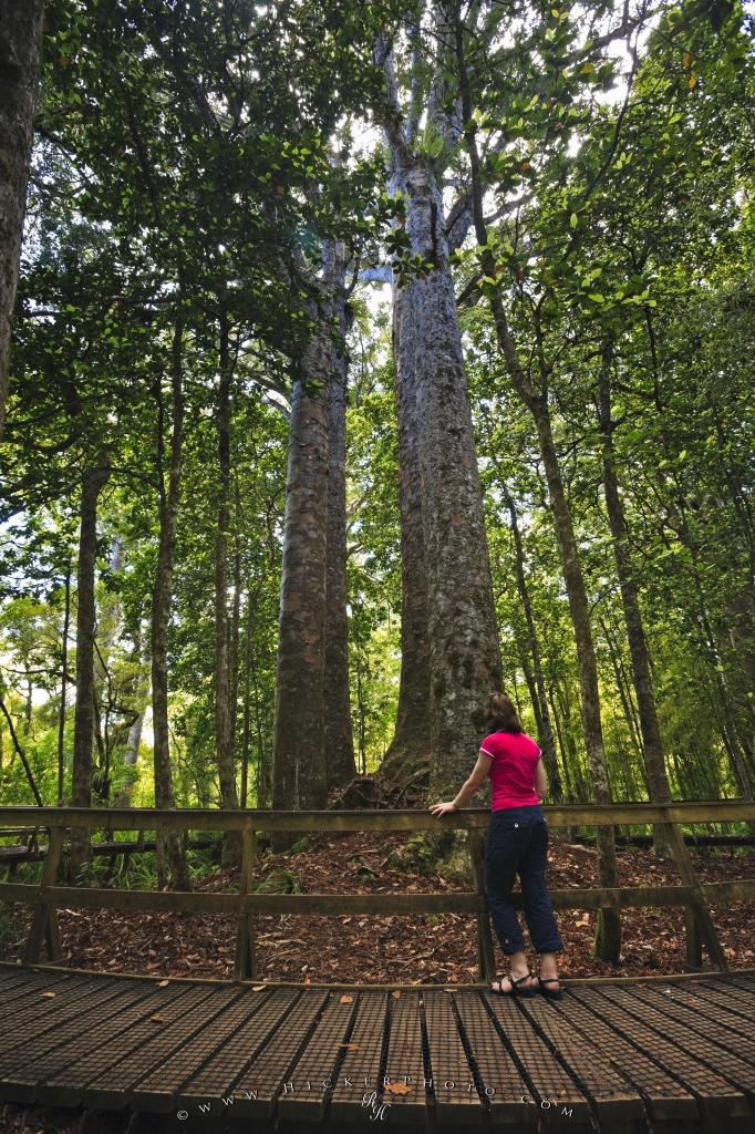 Waipoua Kauri Forest Tourist Attractions Northland New Zealand