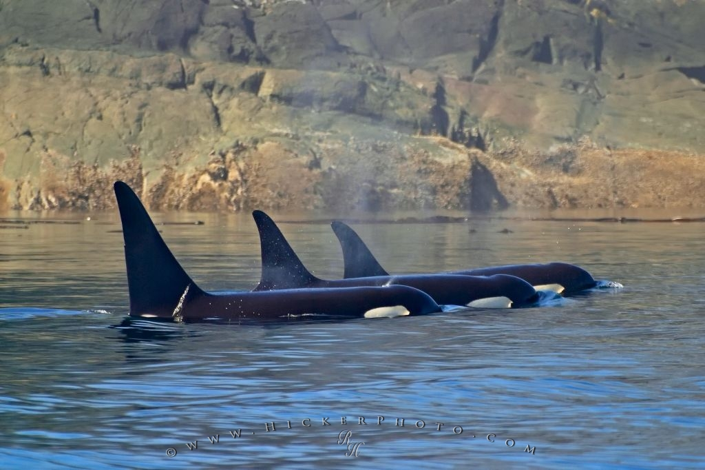 Killer Whale Resting Picture