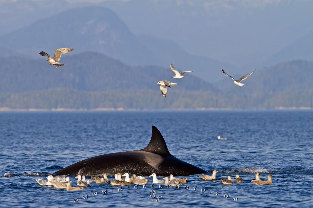 Transient Killer Whale And Seagulls After Kill