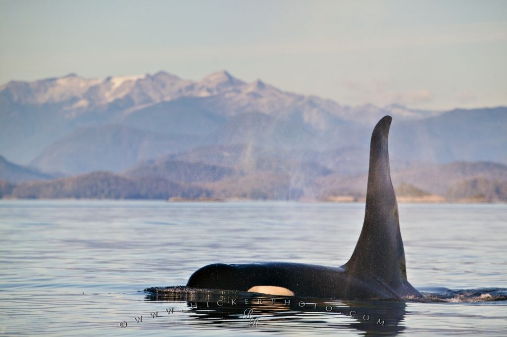 Photo Of A large male Killer Whale