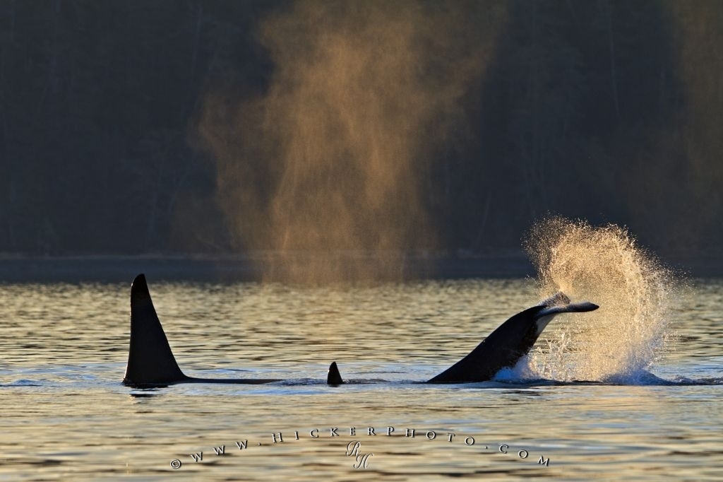 Whale Watching Orca Killer Whales Playing Sunset