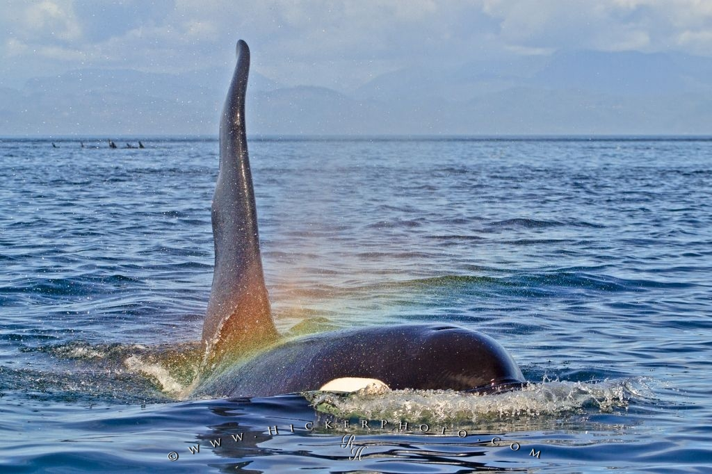 Large Male Killer Whale With Rainbow
