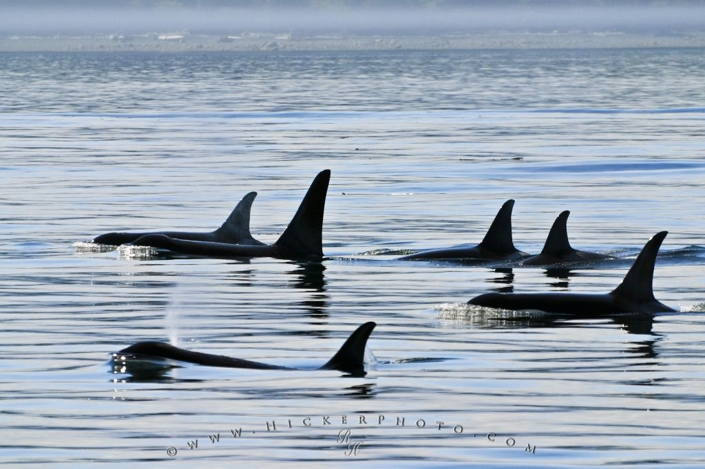 orca family group