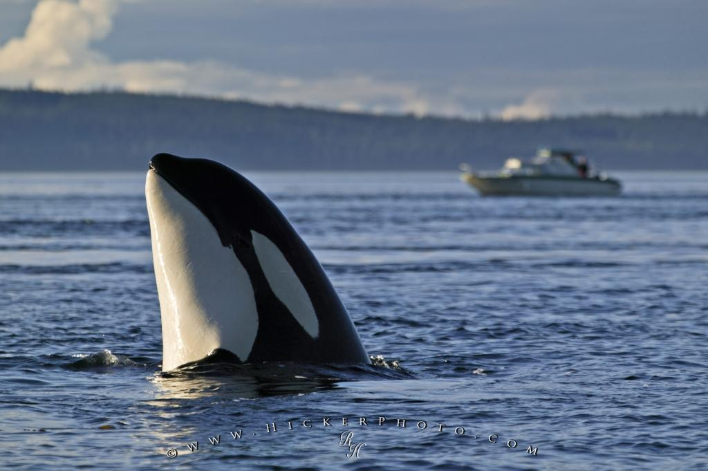 Orca Whale Activity Spy Hopping