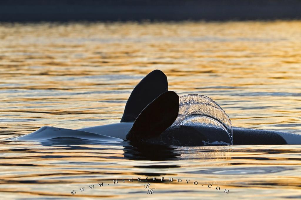Sunset Whale Watching Orca Whale Backstrokes