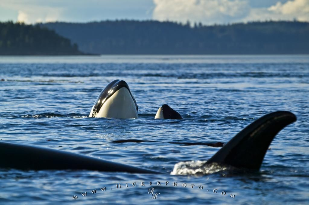 Photo Orca Marine Mammals