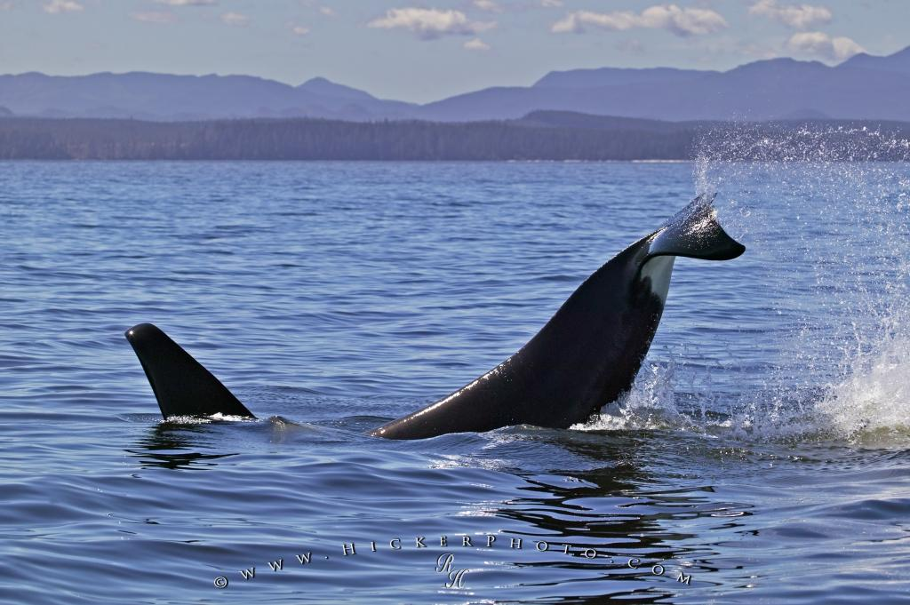 Orca Whale Splashing Tail Vancouver Island