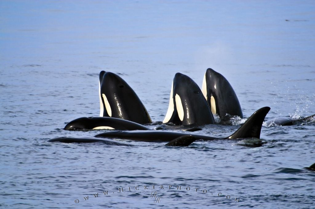 Family Group Orcas Killer Whales Spy Hopping