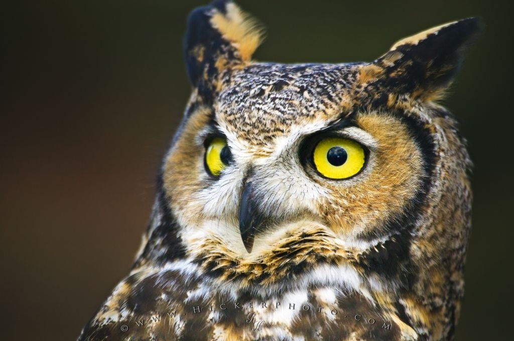Great Horned Owl Close Bird Portrait
