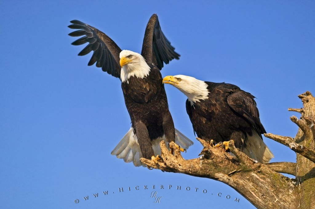Bird Behavior Pictures Of Bald Eagles