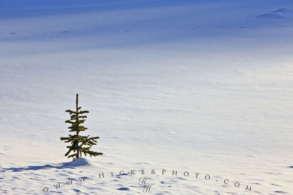 Single Pine Tree Snow Field Winter Picture