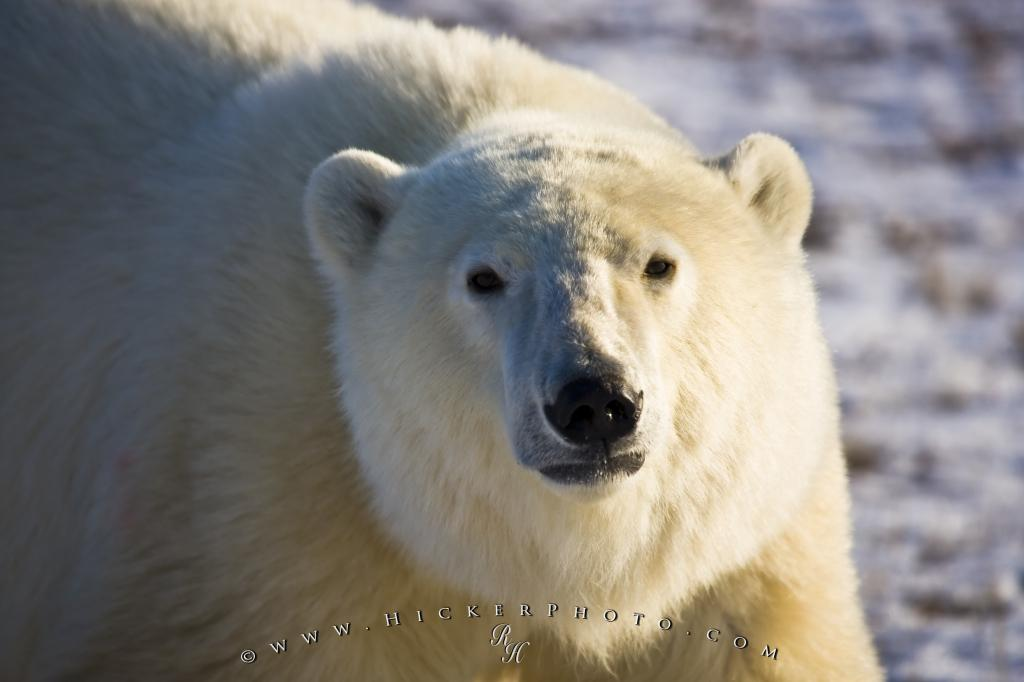 Close Up Polar Bear Portrait Picture Churchill Manitoba