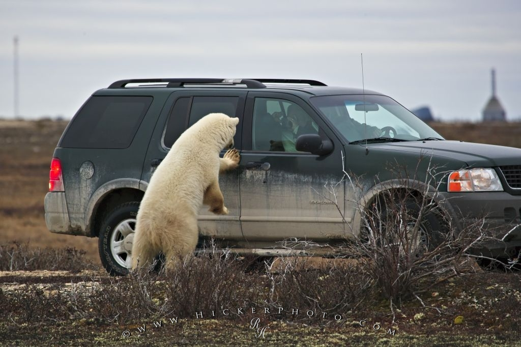 Polar Bear Watching Tourists Churchill Canada