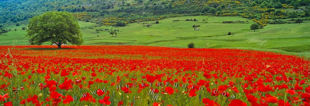 Single Tree Poppy Field Apulia Italy