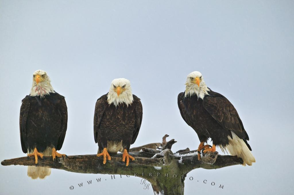 Photo Three Resting Bald Eagles Snowing
