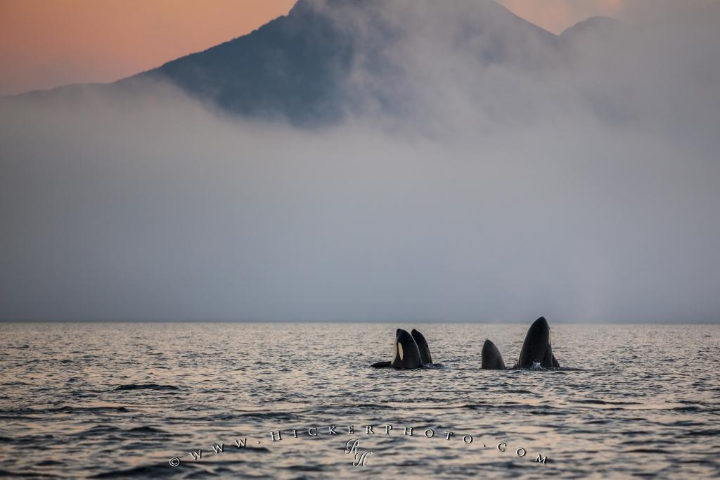 Orca Whale family spy hopping robson bight